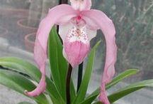 Phaphiopedilum, Cypripedium orkidea