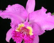 Cattleya,Laelia, Blc,Bct,Potinara,Sophronitis,Brassavola orkideat