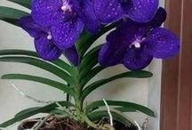 Vanda, Vandopsis, Vandachostylis orkideat