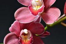 Cympidium ja Cympidiella orkideat
