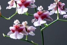Oncidium, Odontocidium, Odontoglossum orkideat