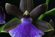 Zygopetalum orkideat