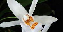 Coelogyne orkideat