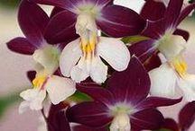 Calanthe orkideat