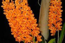 Ascocentrum orkideat