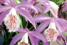Pleione orkideat