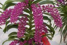 Rhynchostylis, Rhyncostele orkideat