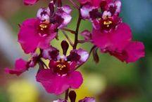 Tolumnia orkideat