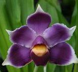 Bollea orkideat