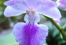 Aerides orkideat