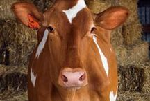 COWS , BULLS, BISONS