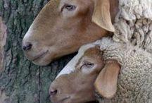 SHEEP,  GOATS, ...