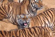 TIGER, nature's masterpiece