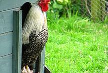 Chickens / by Ruth Hasse