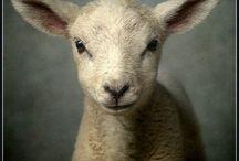 SHEEP, sheep, ShEeP, sHeEp