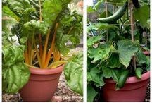 Frugal Container Gardening / Gardening in small spaces.