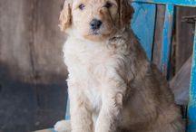 Dogs: Labradoodle Love / In 2014 kwam onze Australian Labradoodle Willem bij ons en in 2015 kwam Pieter. Sindsdien ben ik met het Labradoodle-virus besmet!