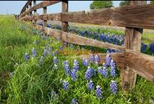 Texas Hill Country Bluebonnets and Wildflowers  / Lupinus texensis (common name Texas Bluebonnet) is a species of lupine which is endemic to Texas. With other related species of lupines also called bluebonnets, it is the state flower of of Texas and bloom each spring in the Texas Hill Country.