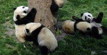 Panda Panda PANDA!!