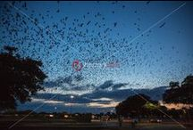 Purple Martins Swallow Bird Austin Texas Roost / 100,000 Purple Martins roost in Austin every summer at Highland Mall before before flying to Brazil, watchers of all ages gather to celebrate these aerial acrobats.