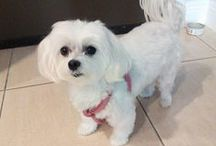 Mia the Maltese, Shop Around Tours mascot / Mia is the official canine mascot of Shop Around Tours