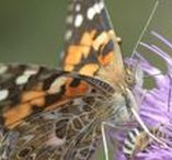 Buzzing about Bees and Butterflies / News worthy articles about Bee, Butterflies and native plants