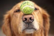 Golden Retrievers: The Best Dogs Ever