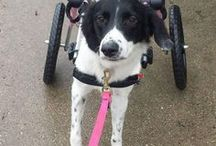 Adoptable Paralyzed Pets / Not every handicapped dog is lucky enough to be in a loving home.  Here are paralyzed and disabled dogs in need of  adoptable.