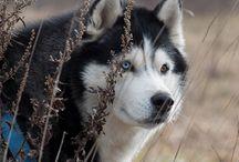 Semargl Siberians   siberian husky puppies / Siberian husky puppies. Kennel SEMARGL, Russia. Щенки сибирский хаски, питомник Семаргл.  http://siberians.ru