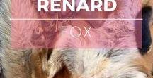 Renard ※ Fox