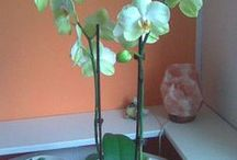 Orchids / the orchids in my flat