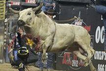 #PBR#Cowboy-up / Bucking bulls of the PBR / by Larry Jackson