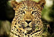 All Things Leopard / by E. Whaley