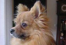 Pomeranians like my Bijou / In ricordo della mia Bijou che ci ha lasciato oggi 30 Maggio 2016. Ti avremo sempre nel cuore e nella mente. R.I.P. Gone but never forgotten