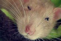 szczurałki :3 / The cutest rats