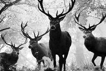 Deers, elks, reindeer,...