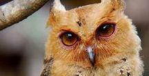 Owls, birds,...