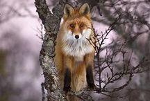 I want a fox!