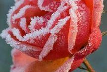 Frosty / Snowflakes, Frosty Leaves, Frosty Flowers & Frosty Berries