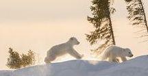 Polar Bear Cubs / Polar Bear Cub...soooo cute!!!!!