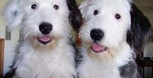 Adorable Dogs II / Happy Fluffy Dogs!!!!  Terriers, Westie, Schnauzer, Old English Sheep Dog, Bearded Collie & more!!!