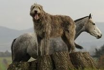 Big, gray and loveable / Loving irish wolfhounds