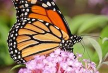 Welcome Butterflies To Your Garden! / There is nothing lovelier than butterflies in your garden! Here are tips to attract butterflies to your yard and garden