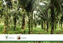 Oil Palm Tree Images / http://palmoiltv.org/