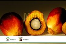 Palm Fruit Images / Palm oil comes from the flesh while palm kernel oil comes from the seed of the palm fruits.  http://palmoiltv.org/