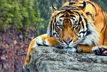 Tiger / Tiger are wonderful <3
