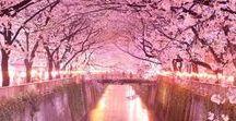 Spring Pink Japan / 桜です。菊と並ぶ、日本の国花ですね。日本人にとっても、もっとも身近で切っても切り離せない花ではないでしょうか?日本らしい花ですね。