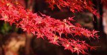 Autumn Red Japan / 紅葉です。春の桜と共に秋の紅葉もご好評ですね。寒い所の方が、赤が濃いですよね。でも、寒い所、苦手なんで・・・。