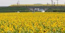 Season Yellow Japan / 銀杏、菜の花、向日葵のPinを集めました。風水的に黄色は財の象徴とか何とか・・・・。ホンマかいな?