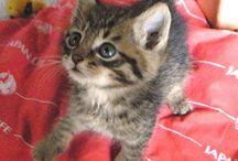 """日本猫 """"Nihon-Neko"""" / 厳密な血統としては、日本猫は居ないそうです。いろいろと雑種化してしまってとの事。日本猫っぽい猫のPinを集めて見ました。"""